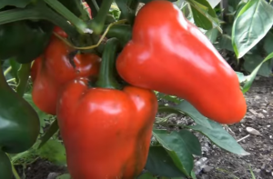 как посадить сладкий перец