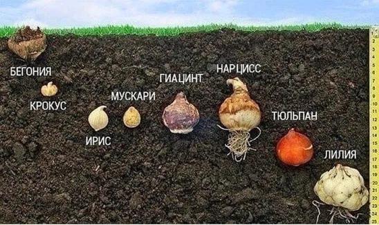 Как садить тюльпаны